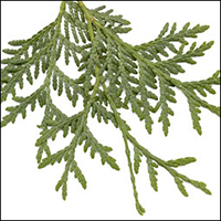 Eastern White Cedar leaf