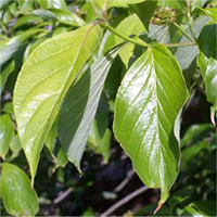 Eastern flowering dogwood leaf