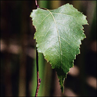 Gray Birch leaf