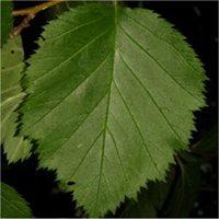 Hawthorns leaf