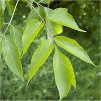 Manitoba Maple leaf