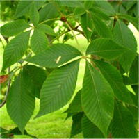 Ohio Buckeye leaf
