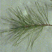 Pitch Pine leaf (needles)