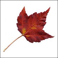 feuille : Érable rouge