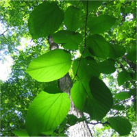 Red Mulberry leaf