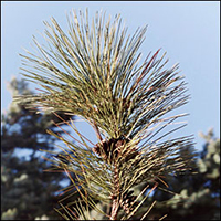 Red Pine leaf