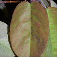 Serviceberries leaf