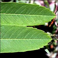 Showy Mountain-Ash leaf