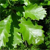 feuille : Chêne bicolore