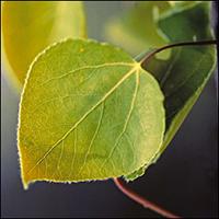 Trembling Aspen leaf