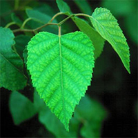 White Birch leaf