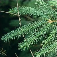 White Spruce leaf (needles)