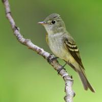 acadian-flycatcher