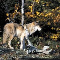 algonquin-wolf