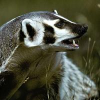 american badger american badger