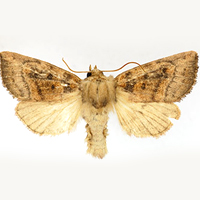 aweme-borer-moth