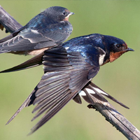 Barn swallow   Ontario.ca