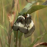 bogbean-buckmoth