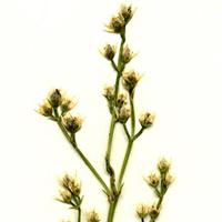 branched-bartonia