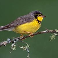 canada-warbler