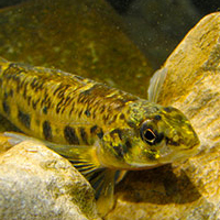 channel-darter