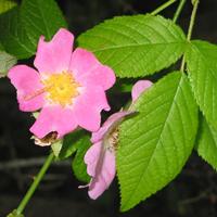 climbing-prairie-rose