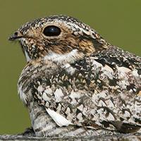common-nighthawk