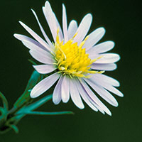 aster-fausse-prenanthe