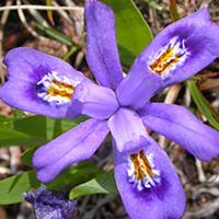 dwarf-lake-iris