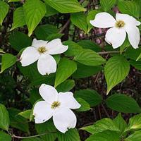 cornouiller-fleuri