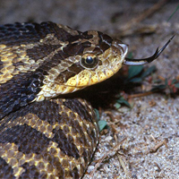 eastern-hog-nosed-snake