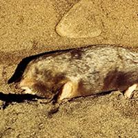 eastern-mole