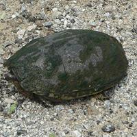 Eastern musk turtle (stinkpot) | Ontario ca