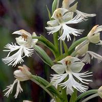 platanthere-blanchatre-de-lest