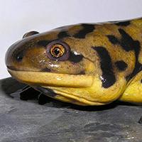 eastern-tiger-salamander