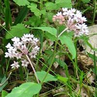 four-leaved-milkweed