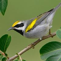 paruline-ailes-dorees