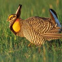 greater-prairie-chicken