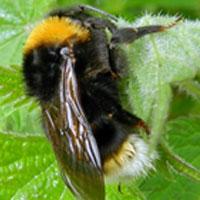 gypsy-cuckoo-bumble-bee