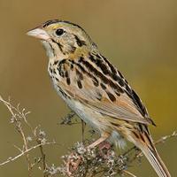 henslows-sparrow