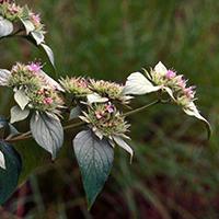 pycnantheme-gris