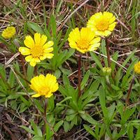 lakeside-daisy