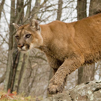 mountain-lion-cougar