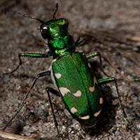 northern-barrens-tiger-beetle