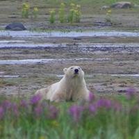 activités ours polaires