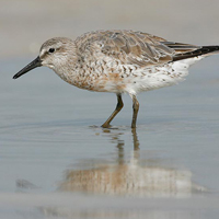 red-knot-rufa-subspecies