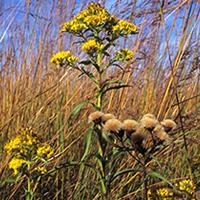 riddells-goldenrod
