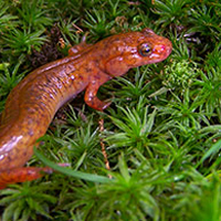 spring-salamander