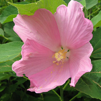 swamp-rose-mallow