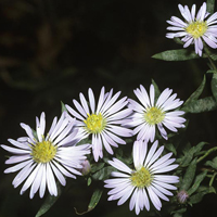 willowleaf-aster